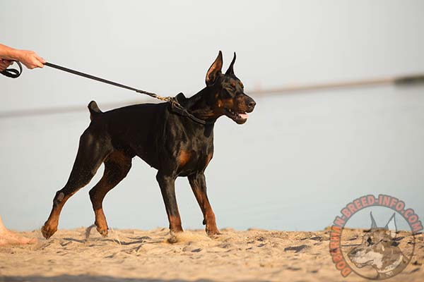 Doberman leather leash of classy design with riveted hardware for quality control