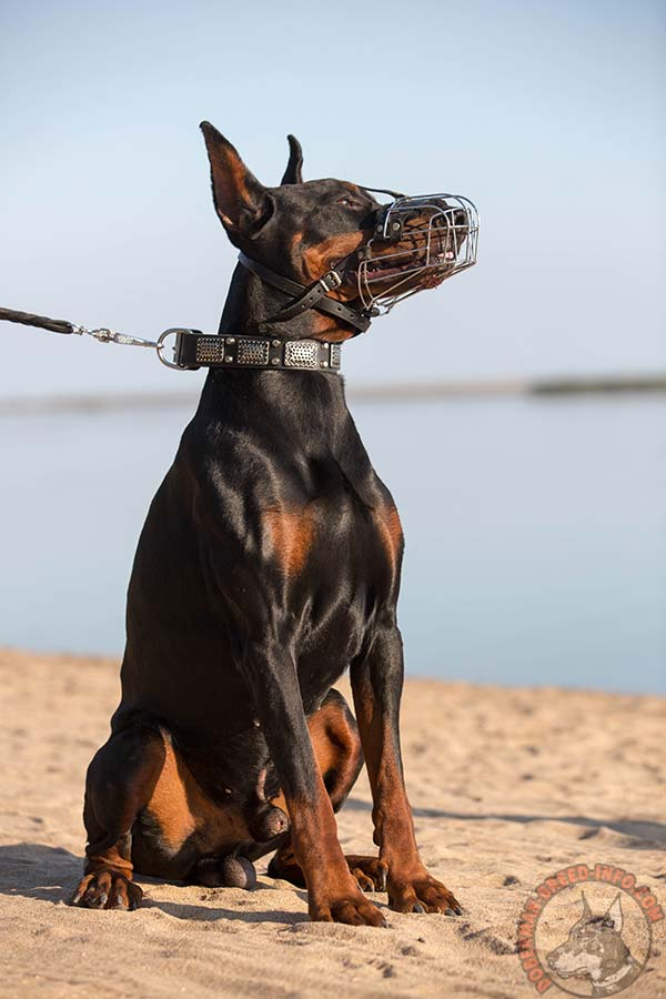 Doberman wire basket muzzle with nose padding with nickel plated fittings for quality control