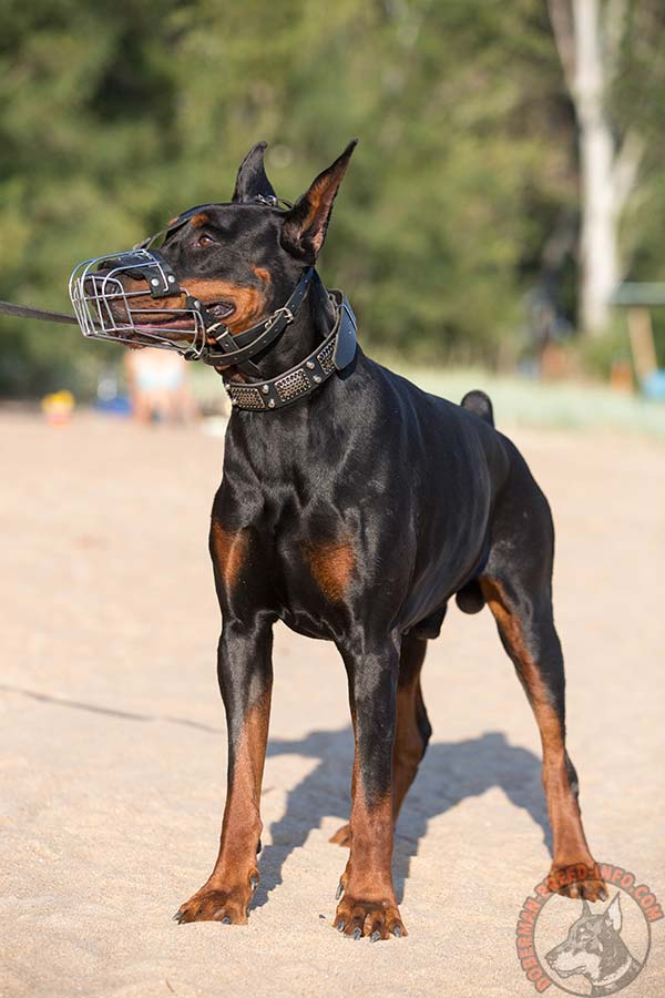 Doberman wire basket muzzle padded with felt with nickel plated fittings for improved control