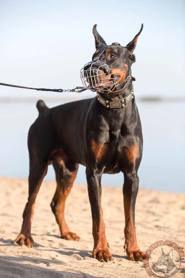 Doberman wire cage muzzle padded with felt with nickel plated fittings for perfect control